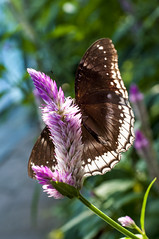 brown butterfly on pink flower (S.c. de graaf) Tags: pink brown white green butterfly garden zoo behind artis
