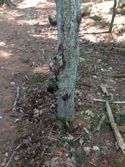 Soil Withdrawal (wesleycrawford1) Tags: deadleaves soil weirdtree redmapletree deadsticks uploaded:by=flickrmobile flickriosapp:filter=nofilter