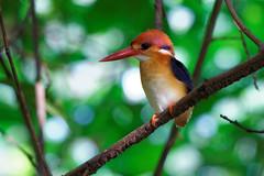 Black Backed Kingfisher (Oriental Dwarf Kingfisher) (teckhengwang) Tags: black dwarf sony kingfisher oriental backed bidadari a850 sal70400g
