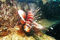 IMG_2876ew (ajimns) Tags: ocean red sea wild fish nature water coral aquarium marine underwater wildlife lion exotic tropical reef lionfish striped anemonefish zebrafish pterois stingfish