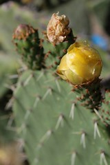 A prickly pear cactus flower