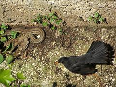 Defending the nest (PTRA) Tags: bird nature animals fight snake blackbird fourlinedsnake