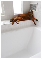 52-52-2013: It's almost over....whew.... (Free 2 Be) Tags: pet cat shower lounge lazy loki bathtub abysinnian