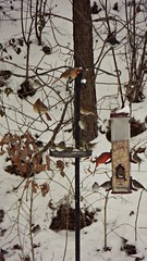 A full house (Dave* Seven One) Tags: trees winter snow beauty leaves birds ga backyard birdfeeder feeder mybackyard cardinals