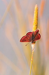 Beautiful orange butterfly on grass at dawn. (viktori-art) Tags: red summer orange plant color macro nature beautiful beauty grass yellow butterfly garden season insect living leaf spring healthy colorful close natural background fresh antenna lycaena