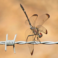 Swift setwing obelisking on barbed wire (Vicki's Nature) Tags: brown yard canon georgia wings wire eyes upsidedown dragonfly ngc gray npc barbedwire sweep rockon s5 bottomsup bigmomma 8554 obelisking gamewinner unanimous swiftsetwing vickisnature faveswinner gamesweep yourockwinner yourockunanimous gamex2winner gameunam yourockrockon storybookwinner storybookttw gamex3winner storybookttwwinner yourockrockonchallenge gamex3sweepwinner gamegamex2 yourockanything favescontestfavoriteson favescontestsweep favescontesttopseed favescontestfavored favessweep rockonwinner favestopseed readygrandmother readytopseed topseedwinner readyrockconcert readyoverthetop favoritesonwinner readymonthlybeanstalkclimboff storybookinsects storybookmonthlybeanstalkclimboffpeopleanimals motherstorybookwinners favoredwinner readyfavoriteson rockonsweep readygameon favesfavored faves3049 gamegamex3 gamebarbedwire therubyawardsinvitation gamegameon returnruby favesfavoriteson readyruby