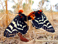 Grapevine Moth (NathanaelBC) Tags: red orange white black sex butterfly insect moth cream australia naturereserve mating canberra reproduction pest thepinnacle