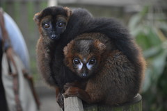 Red-Fronted & Red-Bellied Lemurs (CoasterMadMatt) Tags: park uk greatbritain winter england english nature animal animals out season photography march photos unitedkingdom britain beds wildlife united great bedfordshire parks kingdom exhibit tourist days east safari rufus photographs lemur cuddle gb land british lemurs creature touristattraction huddle attraction daysout safaripark animalpark redbellied woburnsafaripark enclosure woburn 2014 fulvus wildlifepark eulemurfulvusrufus eulemur rubriventer eulemurrubriventer eastofengland redfronted redbelliedlemur redfrontedlemur coastermadmatt march2014 landoflemurs coastermadmattphotography