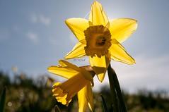 DSC_0010 - Happy Mondays (SWJuk) Tags: uk light england sunlight macro home yellow closeup spring nikon naturallight bluesky lancashire daffodils 1870mm burnley daffs 2014 d90 nikond90 swjuk mygearandme mar2014