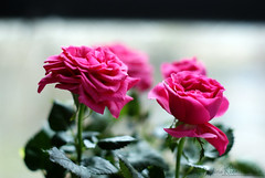 Roses (Paulaart18) Tags: pink red roses summer plant flower nature rose tulips sony tulip sunflower paulaart18