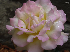 A pale pink rose and water drops (pat.bluey) Tags: pink flowers rose australia bluemountains newsouthwales 1001nights waterdrops youmademyday abigfave flickraward 1001nightsmagiccity hennysgardens sunrays5