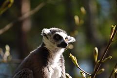 lemur (dakegra) Tags: lemur yorkshirewildlifepark