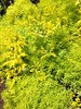 "Lemon Coral Sedum • <a style=""font-size:0.8em;"" href=""http://www.flickr.com/photos/101656099@N05/13944671638/"" target=""_blank"">View on Flickr</a>"