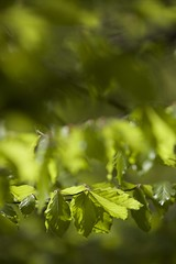IMG_8127 (ullrichmartin) Tags: blatt beech beechleaf grün
