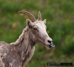 The Mountain Goat (Michael Schmidt Photography Vancouver) Tags: brown white black green field grass yellow tongue closeup female mammal grey beige day head meadows horns conservation alpine daytime rockymountains ungulate grazing pictureperfect kananaskiscountry diseases ewe tonguestickingout gameanimal pleistocene canmorealberta beringlandbridge whiterump bighornsheepoviscanadensis michaelschmidtphotographyvancouverbc wwwmichaelschmidtphotographycom httpwwwflickrcomphotosdmichaelschmidtsets dmschmidtshawca httpswwwfacebookcommsphotographyvancouver httpswwwthisiswhatiseeca michaelmspixca salesmspixca httpsplusgooglecomb115575222591610367933115575222591610367933posts httpstwittercommspixvancouver foothillcountry grassymountainslopes