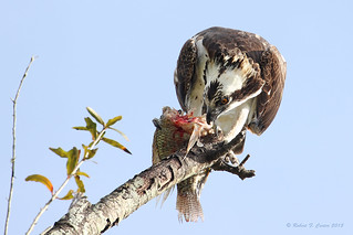 Osprey Having Lunch