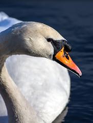 A Beauty (Mirrorfinish) Tags: bird nature swan waterfowl warwickshire kingsburywaterpark