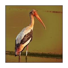 Painted Stork (Ravi Prabhune) Tags: beauty painting colours waterbird paintedstork mycterialeucocephala colourfulbird birdsofindiansubcontinent nearthreatenedbird birdsofmaharashtra