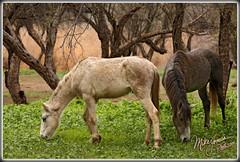 Wild Horses (MikeJonesPhoto) Tags: wild arizona horses nature river landscape photographer ns salt scenic az professional 115 2168 mikejonesphoto smithsouthwestern wwwmikejonesphotocom