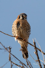 Male American Kestrel enjoys a quiet late afternoon