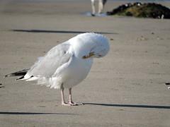 Gaivota prateada (Larus argentatus)-7 (Luis.Mota) Tags: gull gaivota larus argentatus prateada