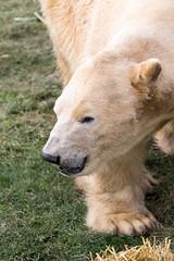 Polar bear, Yorkshire Wildlife Park (Alet Davroux) Tags: england animals unitedkingdom yorkshire places polarbear yorkshirewildlifepark oldcantley