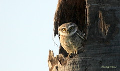 Spotted Owlet (Athene brama) (Freddy Victor) Tags: bird spotted owlet athenebrama