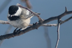 How 'Bout a Nice Chickadee? (joeldinda) Tags: winter snow bird home weather yard nikon branch chickadee february mulliken d300 2789 2015 357365 nikond300