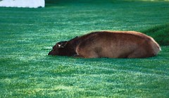 Napping on the Lawn (Annie RB) Tags: lawn napping youngelk