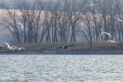 Bald Eagle flies above the lake