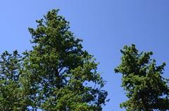 Arboles en el Observatorio Astronomico de Cordoba - Bosque Alegre - Cordoba - Argentina (Eduardo Regner) Tags: blue trees sky nikon cordoba bosquealegre d5100 observatorioastronmicodecrdoba