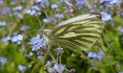 Green-veined White, Artogeia napi (vietnamvera) Tags: butterfly greenveinedwhite pieridae ukbutterflies