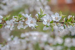 Cherry flowers (Shark CR Photo) Tags: flower tree nature canon cherry eos countryside leaf spring blossom russia pastel young may relaxation springtime 7dmk2 sigma1835f18 sigma1835f18dchsm canoneos7dmk2