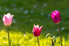 Tulip - Tulpen - Tulipa (FliX1980) Tags: flower spring blumen tulip tamron tulipa frhling tulpen tulpe tamronsp70300mmf456divcusd