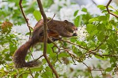 _Red-bellied Squirrel_Callosciurus erythraeus (Tsai-Yu Wu) Tags: rodentia sciuridae