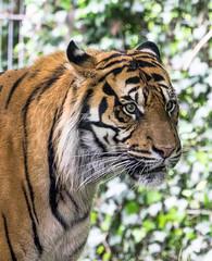 Sumatratiger (j_vogt) Tags: animals germany de bayern deutschland zoo tiere tiger tierpark augsburg sumatratiger pantheratigrissumatrae augsburgerzoo