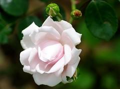 New Dawn climbing rose (Niki Gunn) Tags: pentax k5 may 2016 rose roses flower flowers tamron 90mm macro tamron90mmmacro tamronspaf90mmf28 tamron90mm tamron90mmf28 newdawn newdawnclimbingrose newdawnrose