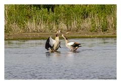 _41A5865 copy (Creeping Mac Kroki) Tags: bird nature birds landscape cow duck vogels ducks fox polder meeuw eend kievit reiger vogel koe witte vos eenden bazel lepelaar waterhoen nijlgans scholekster kwikstaart bergeend kluut visdief aalschover kruibe