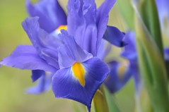 From A Spring Long Ago (The Spirit of the World) Tags: flowers iris usa flower nature floral america spring sandiego ngc bouquet californai springflowers flowerbouquet