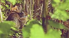 Lucky Charm (Tommy Bass) Tags: rabbit bunny bunnyrabbit larchmontny ef24105mmf4lisusm canon6d
