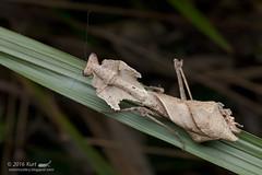Deroplatys desiccata_MG_0813 copy (Kurt (OrionHerpAdventure.com)) Tags: mantis mantid mantodea deroplatys deroplatysdesiccata giantdeadleafmantis