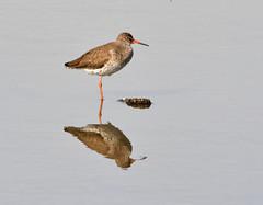 Redshank at Brandon Marsh (robmcrorie) Tags: bird lens ed nikon wildlife brandon trust marsh coventry nikkor warwickshire vr 56 200500 wader sssi redsjank