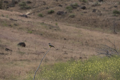 """Western Kingbird • <a style=""""font-size:0.8em;"""" href=""""http://www.flickr.com/photos/63501323@N07/26876967384/"""" target=""""_blank"""">View on Flickr</a>"""