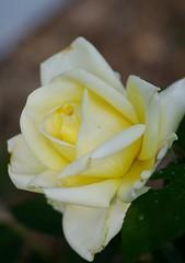 Winter Sun rose opening (Niki Gunn) Tags: flowers roses flower macro rose pentax may buck tamron 90mm k5 tamron90mm wintersun 2016 tamron90mmf28 tamron90mmmacro tamronspaf90mmf28 griffithbuck griffithbuckrose