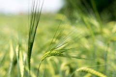 Deep in the Field (a.sekkas) Tags: nikkor50mm118g nikkor nikon d5300 50mm asekkas unlimitedphotos nikonflickraward dof gerste barley