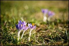 Wiesenblume (BM-Licht) Tags: germany bayern deutschland bavaria nikon pflanze blumen garten krokus penzberg d700