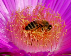 Honey bee on flower (maria xenou~photodromos~) Tags: pink wild nature ecology colors closeup fauna insect flora moments details natur bee ourworld environment fascination pollen makro insekt farben biene umwelt honig momente  naturesperfection   wildeblumen      wildeblume earthnaturelife