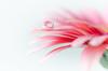 Soft Gerbera petals (hjuengst) Tags: pink macro water soft bokeh rosa gerbera highkey makroaufnahme waterdrops blume makro asteraceae wetter wassertropfen unschärfe diamondclassphotographer flickrdiamond landschaftennatur