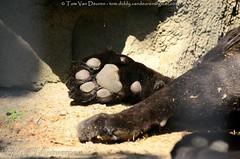 Jaguar - Panthera Onca (MrTDiddy) Tags: black cat mammal zoo big paw kat bigcat antwerp jaguar zwart antwerpen poot zooantwerpen grote onca panthera feine zohra vrouwelijk zoogdier grotekat