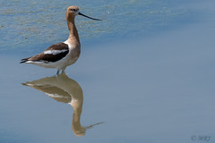 Elegant Avocet (MelRoseJ) Tags: california nature birds northerncalifornia unitedstates sony petaluma alpha autofocus shollenbergerpark sonyalpha sal70400g a77ii sonyilca77m2